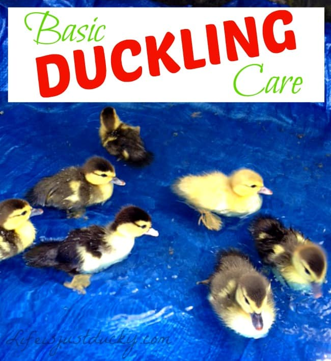how to take care of a baby duck