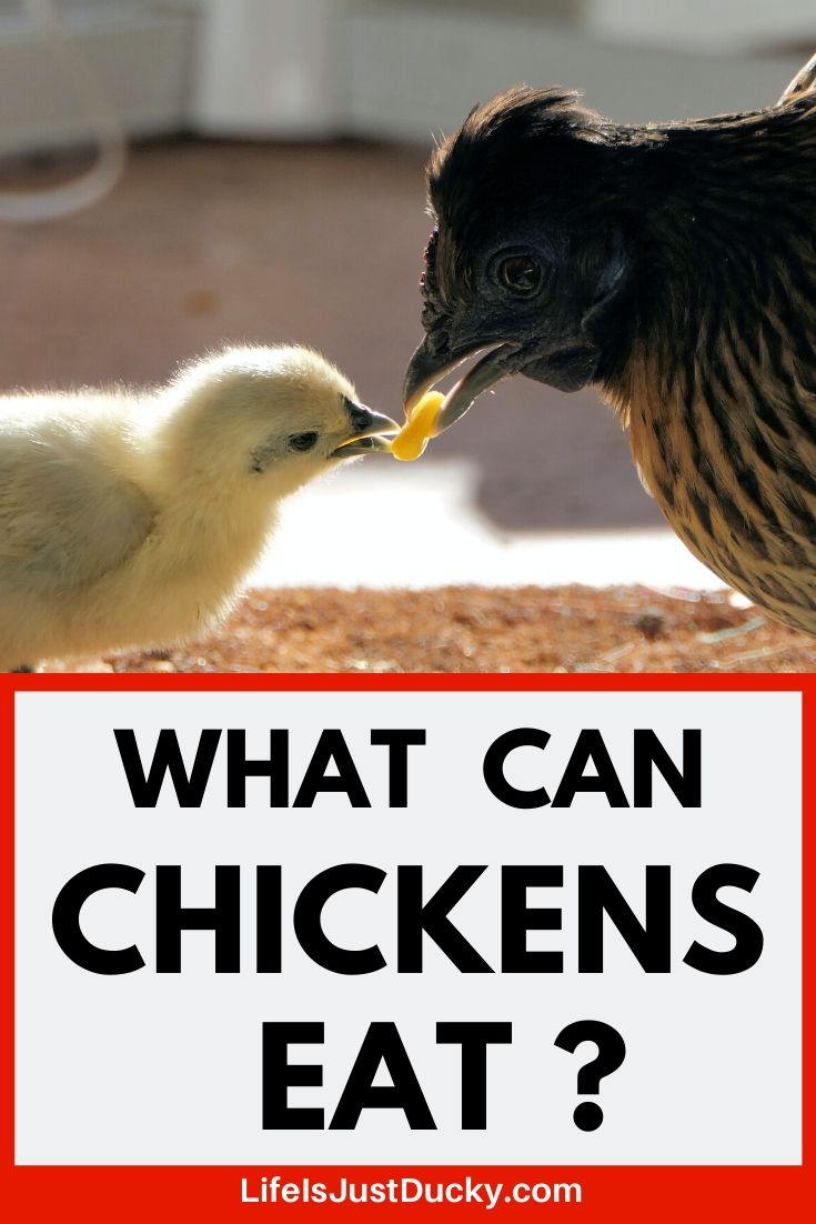 What Can Chickens Eat And 10 Things To Avoid To Keep Your Flock Healthy Life Is Just Ducky